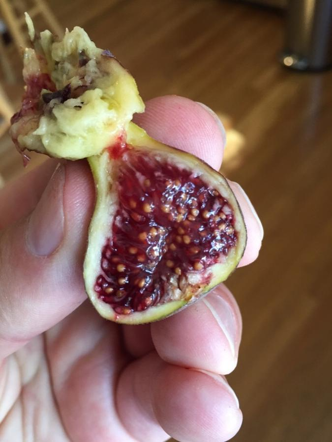 Bourjasotte Grise Ourfigs Com