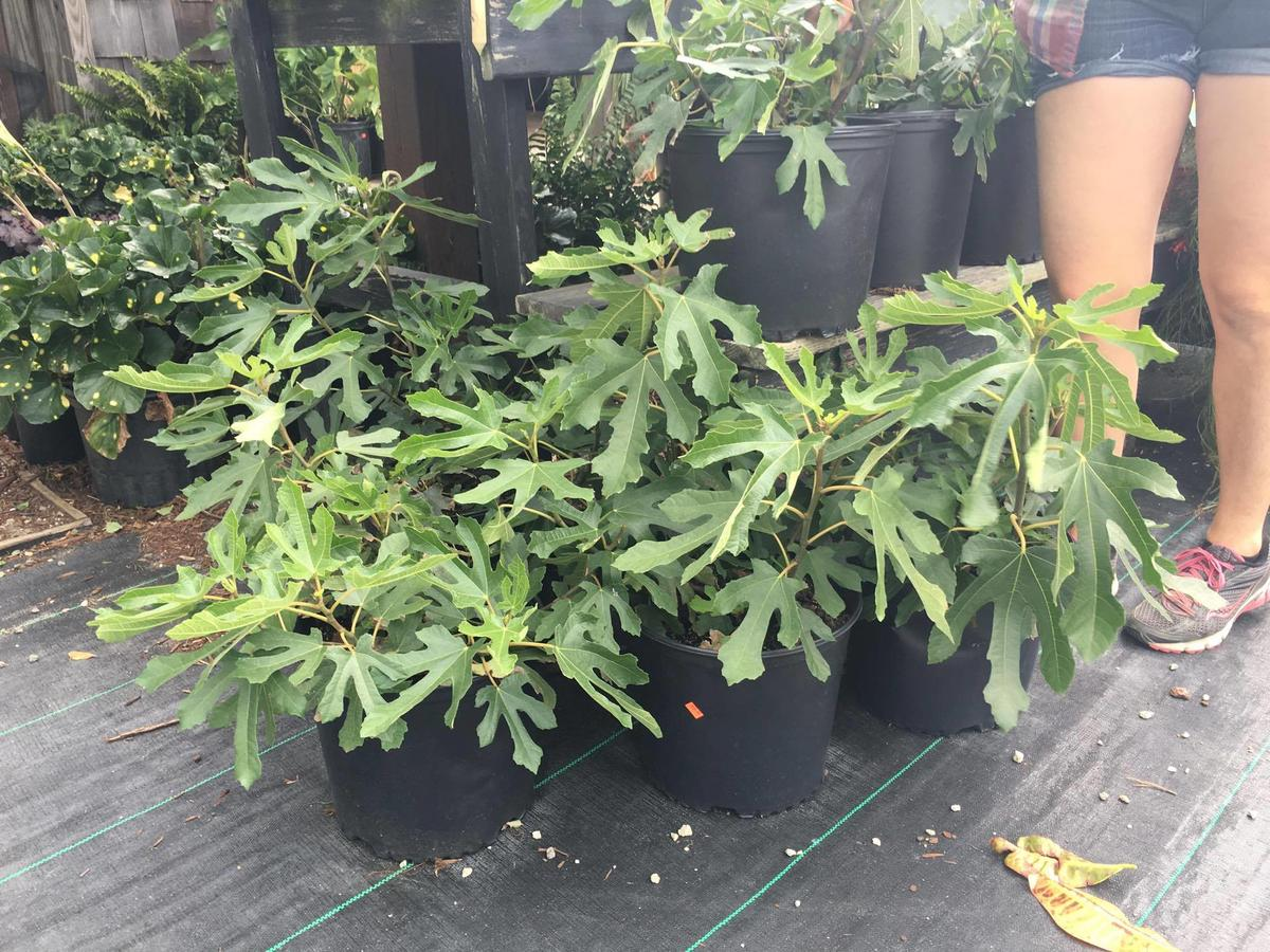 Anyone Currently Growing Little Miss Figgy Tree Looking