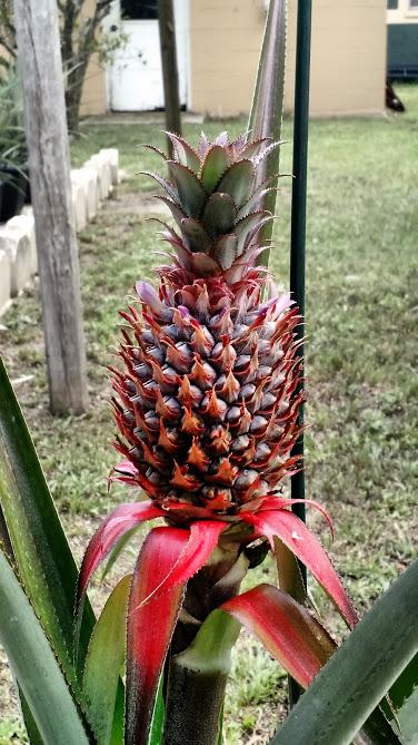 OT: Red Spanish Pineapple